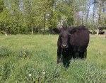 ottawa-grass-fed-beef_20160523_160304-daisy